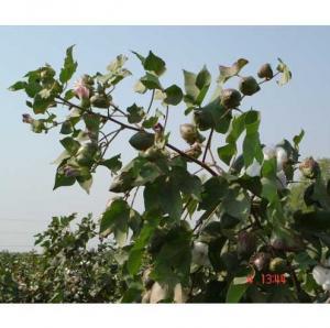 cotton-gossypium-hirsutum-ratna-9