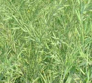 mustard-brassica-junecea-bgm-11
